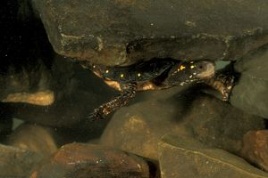 Spotted Turtle Underwater