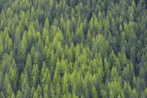 Spring larch and fir. Kootenay Pass, British Columbia. May.