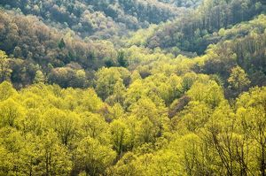 Springtime in Nantahala NF, new Leaves on Tulip Poplars, NC
