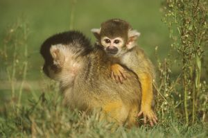 Squirrel Monkey with young (Saimiri sciureus)