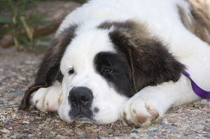 St. Bernard laying down-head shot
