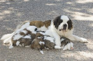 St. Bernard nursing puppies