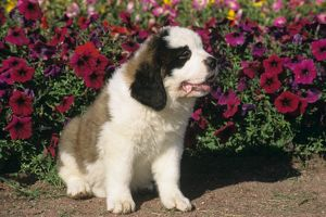 St. Bernard Puppy sitting in front of petunias