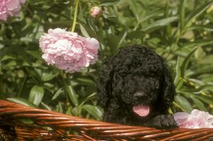 Standard Poodle Puppy in Basket with Flowers behind