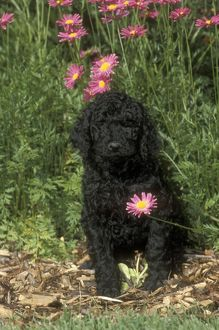 Standard Poodle Puppy sitting with Flowers behind