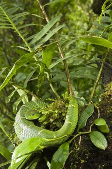 Striped Palm Viper (Bothriechis lateralis) on foliage in montane forest of Costa Rica