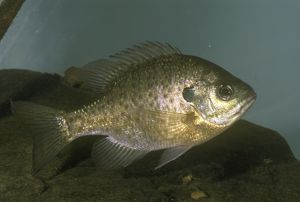 Sunfish aka BlueGill