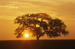 Sunrise through Live Oak Tree, Ocala Florida