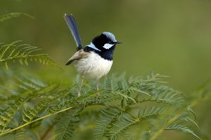 Superb Fairy-wren (Malurus cyaneus, Race: cyanochlamys) male in breeding plumage