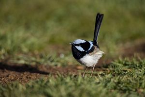 Superb Fairy-Wren (Malurus cyaneus) male in breeding plumage, Bunya Mountains National