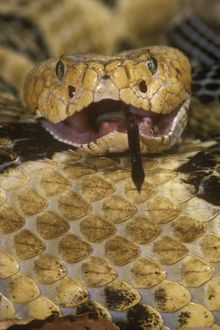 Timber Rattlesnake (Crotalus h. horridus), eating deer mouse, PA