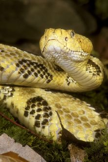 Timber Rattlesnake (Crotalus h. horridus) PA