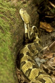 Timber Rattlesnake (Crotalus horridus) Eastern USA