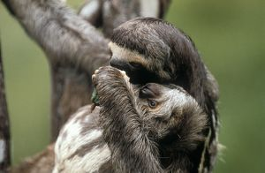 Three Toed Sloth Eating (Bradypus Tridactylus) W/ Young, Amazonia, Brazil