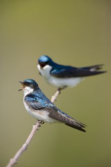 Tree Swallow (Tachycineta bicolor), pair vocalizing (female in front), New York, USA