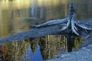Trees killed by Hot Water, Stump & Reflection, Yellowstone NP, WY