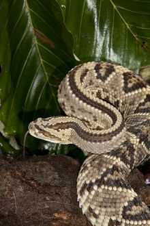 Tropical Rattlesnake aka Cascabel (Crotalus durissus) on jungle floor in Costa Rica