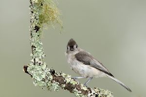 Tufted Titmouse Baeolophus bicloor Asheville,NC 2008 Digital