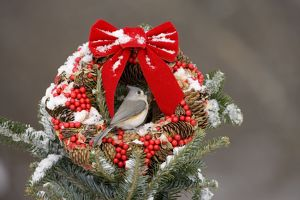 Tufted Titmouse (Baeolophus bicolor) on Christmas wreath in winter, Freeville NY