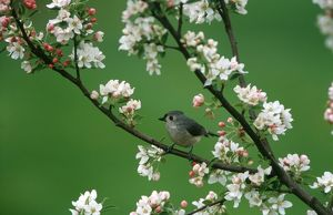 Tufted Titmouse (Baeolophus bicolor) in Crabapple Tree, Marion Co., IL