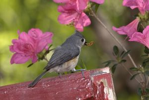 Tufted Titmouse (Parus bicolor) w/ insect