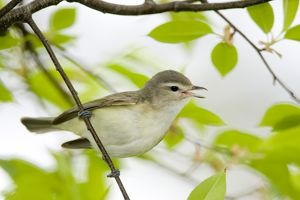 Warbling Vireo (Vireo gilvus), singing in spring, New York, USA portrait