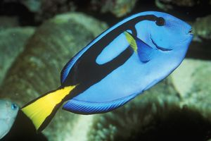Wedgetailed Blue Tang Surgeonfish (Paracanthurus hepatus) Found GB Reef, Aust