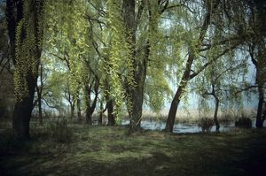 Weeping Willows in Spring, Point Pelee NP, Ontario, Canada