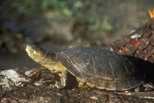 West Pond turtle (Clemmys marmorata) CA