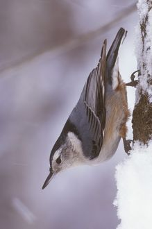 White-breasted Nuthatch climbing down Tree (Sitta carolinensis), Michigan