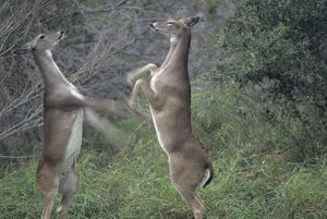 White-tailed Deer (Odocoi- leus virginianus) two does sparring. Southern TX, Texas