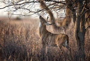 White-tailed Deer (Odocoileus virginianus) A young buck uses a licking branch to