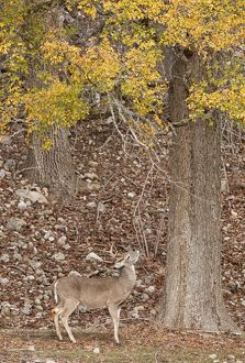 White-tailed Deer (Odocoileus virginianus) Young buck scent marking using a lickin