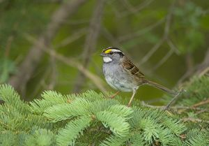 White-throated Sparrow (Zonotrichia albicollis) perched on confer branch