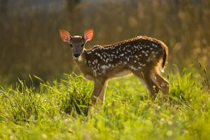 Whitetail Deer Fawn (Odocoileus virginianus) running through field in Central PA, USA