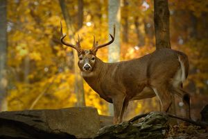 Whitetail Deer (Odocoileus virginianus) NW New Jersey