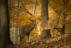 Whitetail Deer (Odocoileus virginianus) Western New Jersey, Buck checking Doe for scent