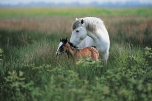 Wild horse of Camargue - Mare and foal