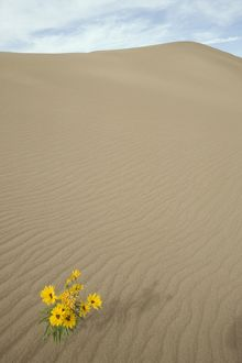 Wildflower on sand dune Great Sand Dunes NM, CO