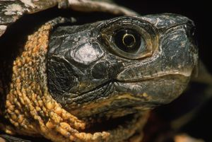 Wood Turtle, head (Clemmys insculpta) August, PA, USA