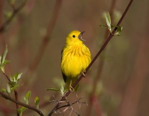 Yellow Warbler (Dendroica petechia), male singing, perched on red-osier dogwood