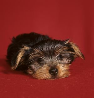 Yorkshire Terrier Puppy lying down