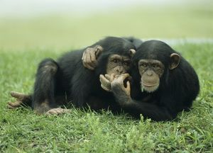 Two young Chimpanzees in Meadow (Pan troglodytes) couple