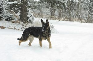 Young German shepherd dog in snow Shaka