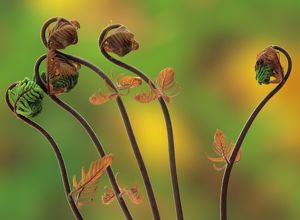 Young Royal Fern Fronds (Osmunda regalis), Spring, Adirondacks, NY, Fuji