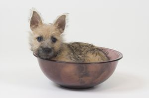 Ziggy, Cairn Terrier puppy