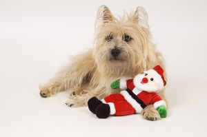 Ziggy Stardust, adult Cairn Terrier enjoying Christmas