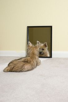 Ziggy Stardust, Cairn Terrier, 4 mounths old, mirror