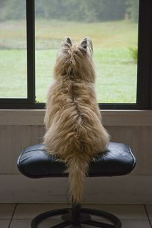 Ziggy Stardust, Cairn Terrier, looking for squirrels, Sarasota, FL
