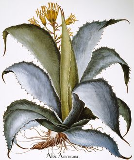 AGAVE, 1613. /nAgave americana: colored engraving from Basilius Besler's 'Hortus